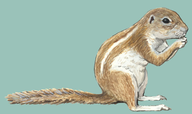 xerus squirrel coloring pages - photo #19