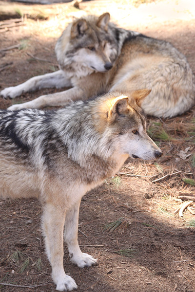 Mexican_wolf6821
