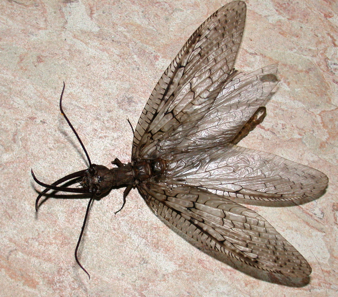 dobsonfly2