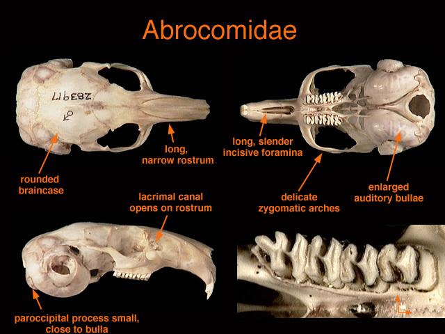 Adw  Abrocomidae Jpg