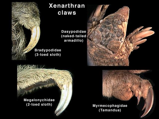 ADW: xenarthran_claws.jpg