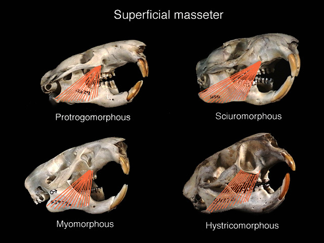 masseter_superficialis