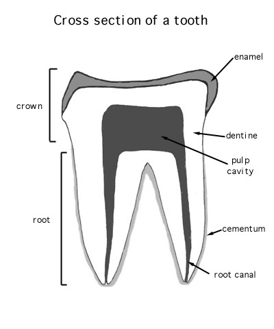 Image of: Dog An Individual Tooth Consists Of An Exposed Crown And Root Buried In The Gum And Jaw The Crown Is Usually At Least Partly Covered By An Outer Layer Of An Animal Diversity Web Adw Structure And Placement Of Individual Teeth