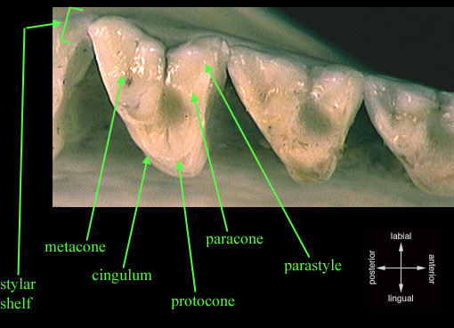 tribosphenic_molar_upper