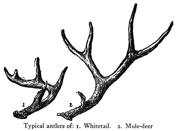 deer antlers drawing easy - photo #39