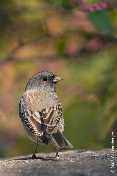 darkeyejunco