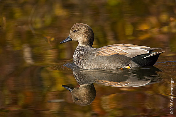 gadwall_fall