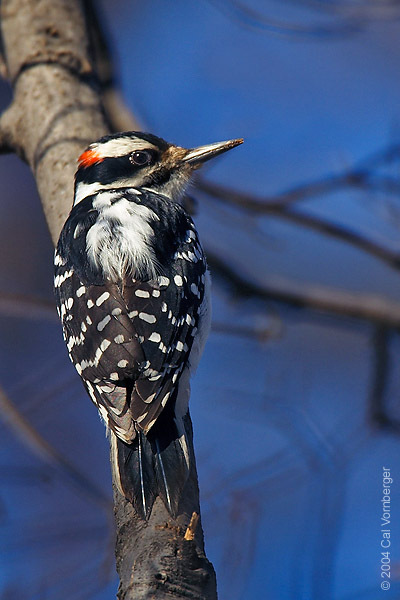 hairywoodpecker1