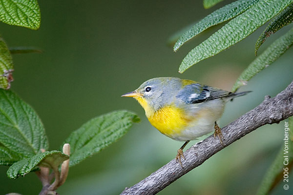 northernparula2