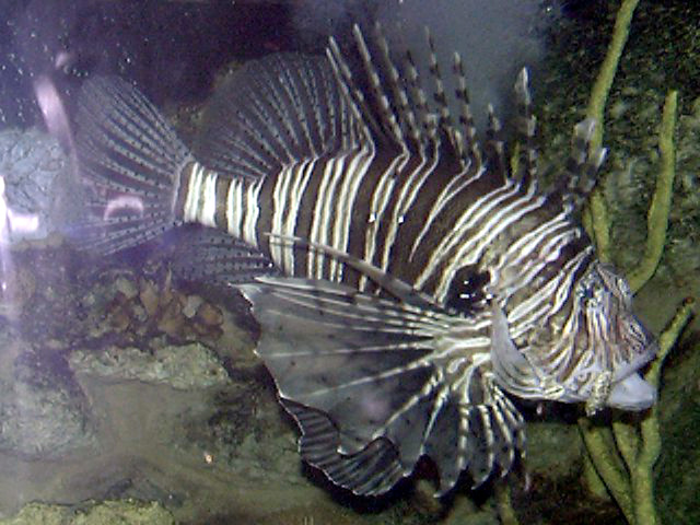 Photo of Pterois volitans