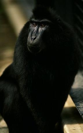 adw macaca nigra information