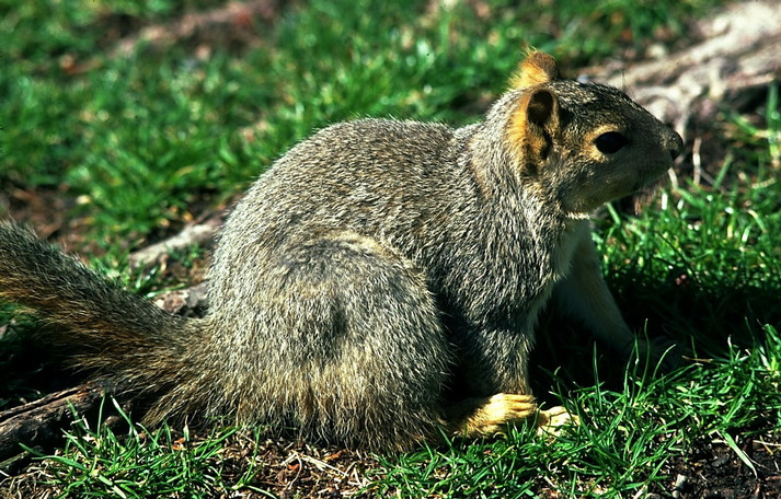 fox_squirrel