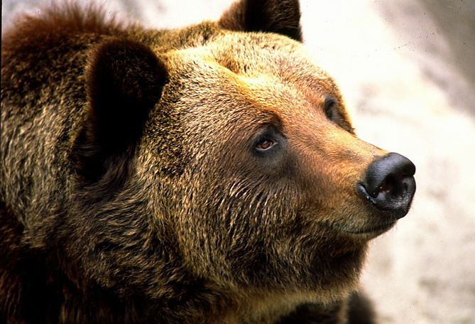 grizzly_2