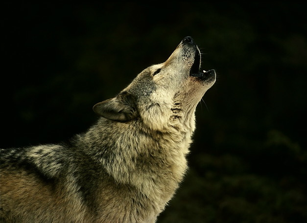 wolf_howling