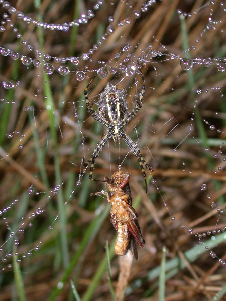 Spider in web with prey - photo#10