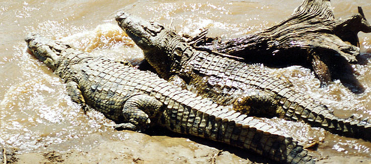 Crocodylidae