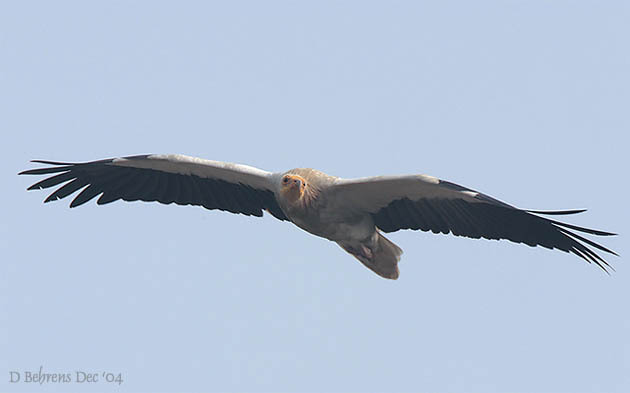 EgyptianVulture