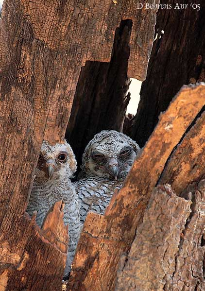 MottledWoodOwlchicks