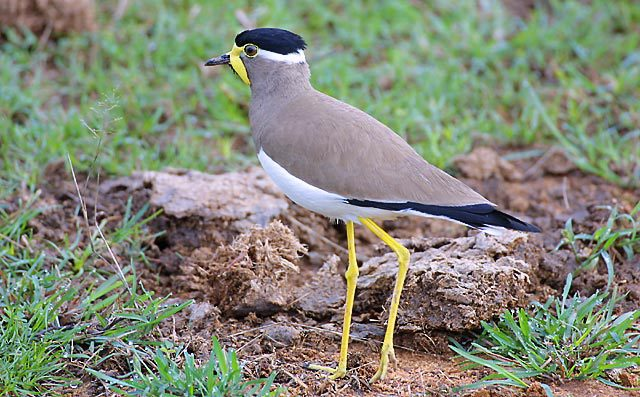YellowwattledLapwing