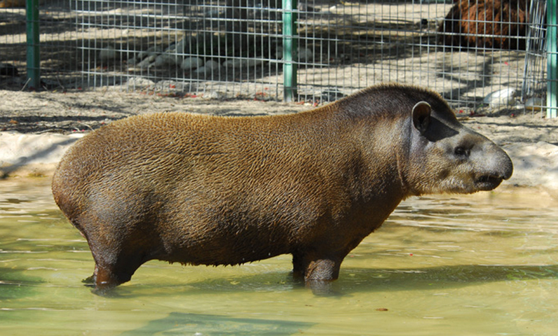 Photo of Tapirus terrestris