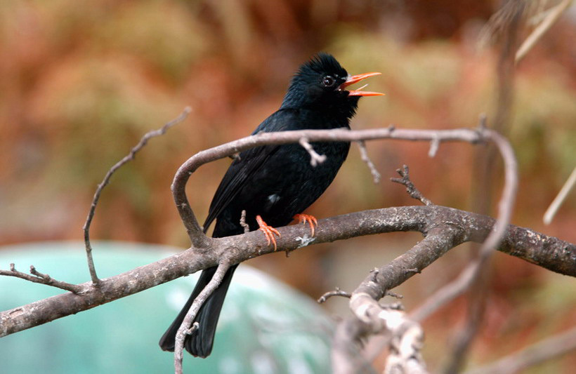 blackbulbul2