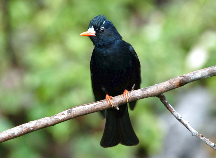 blackbulbul5