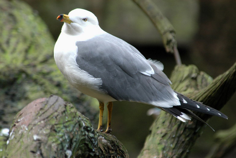 blacktailgull2
