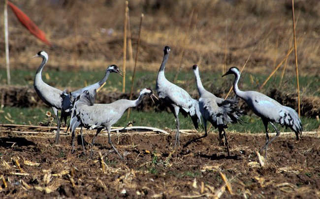 commoncranes11