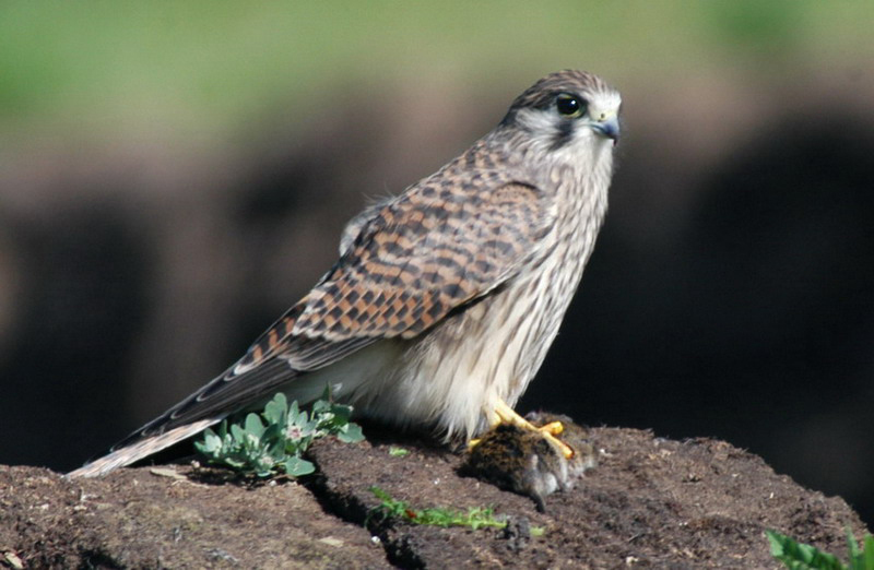 commonkestrel3