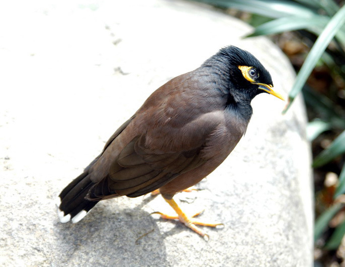 commonmynah2