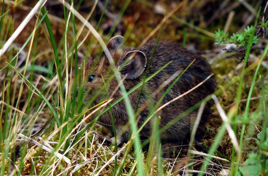 82d594fc5a0 Photo of Ochotona cansus
