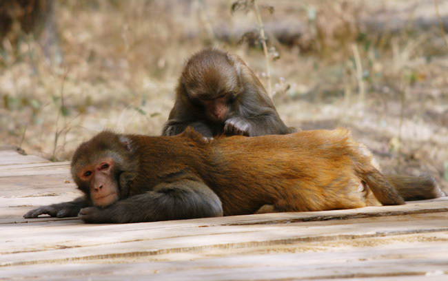 macaque_grooming2