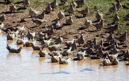 pallas_sandgrouse2
