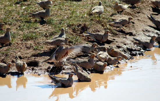 pallas_sandgrouse7