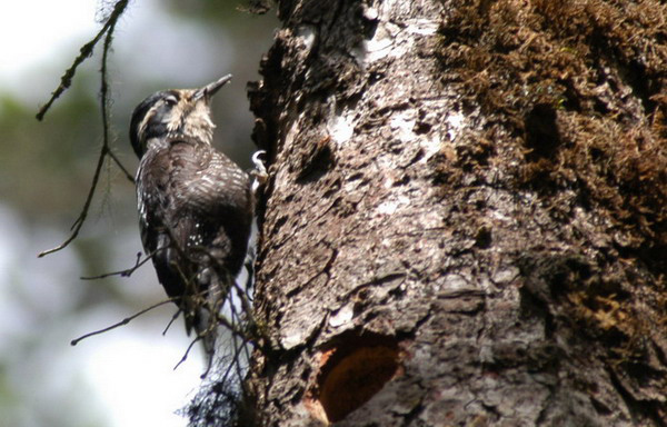 threetoedwoodpecker2