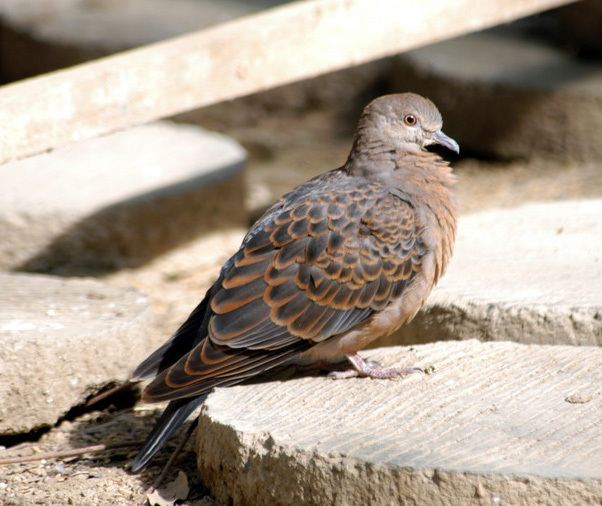 turtledove3
