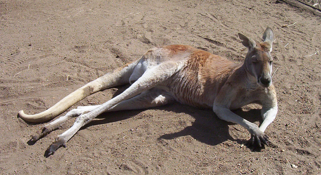 male_red_kangaroo2