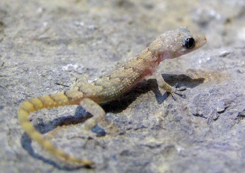 Carinatogecko