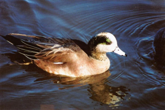 americanwidgeon_male
