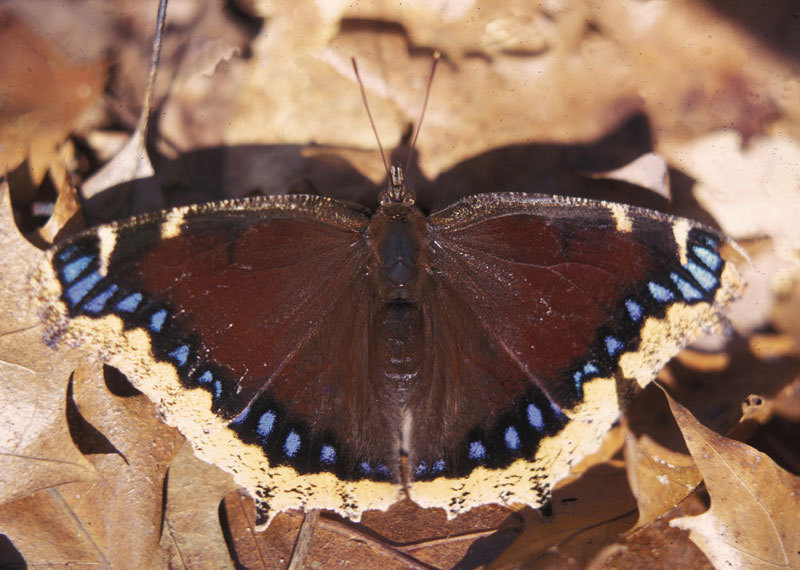0008mourningcloak