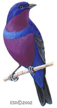 Cotinga_maculata_male