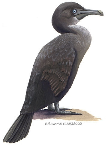 Phalacrocorax harrisi