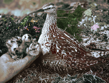 Bristled_thighedCurlew34a