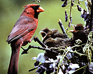 Cardinal_and_nestlings