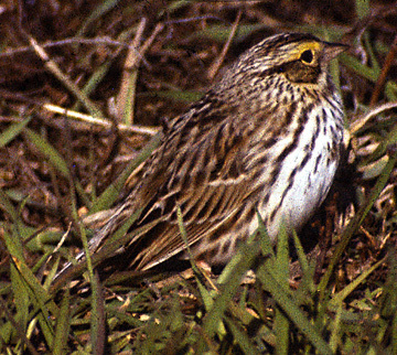 SavannahSparrow