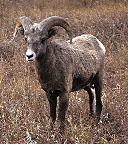 Ovis canadensis