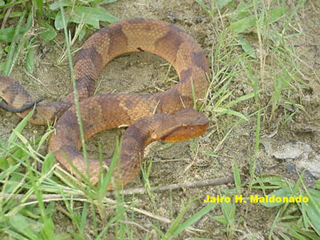 Bothrocophias_hyoprora