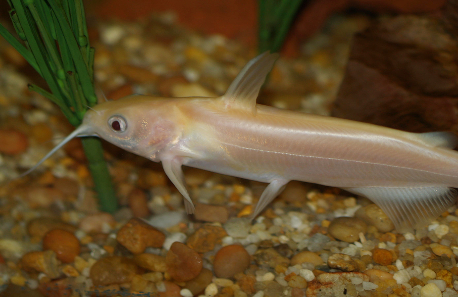 Albinochannelcatfish
