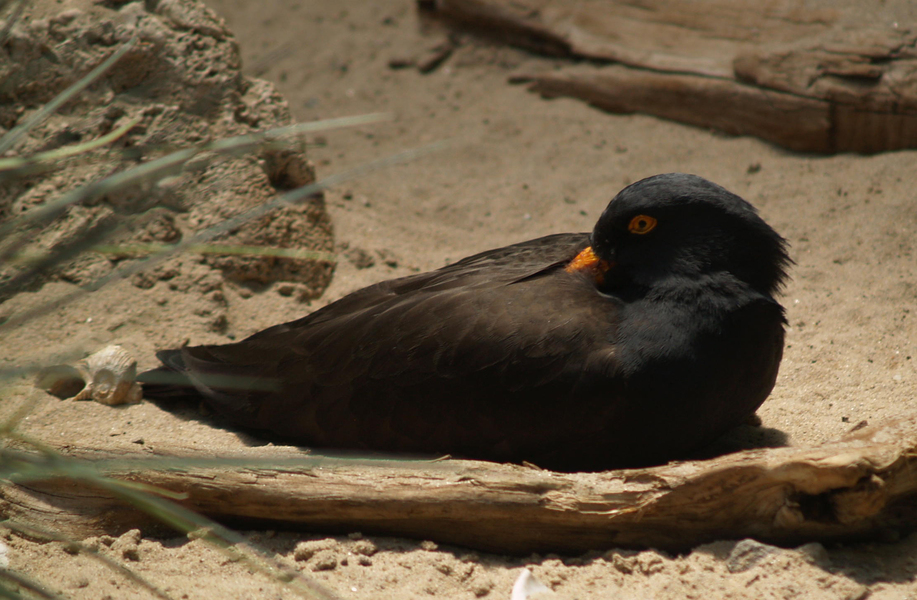 Blackoystercatcher