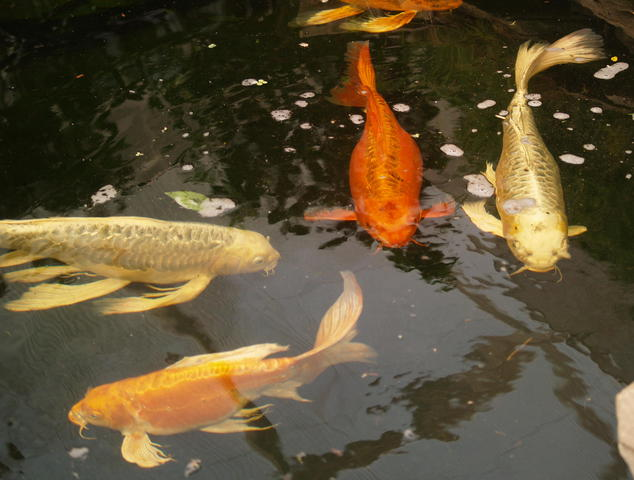 Cyprinus for Types of ray fish